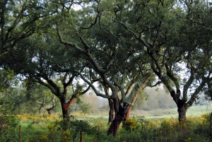 Korkeichenwälder im Norden Portugals