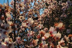 Mandelbaumblüte Anfang Februar